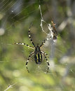 Wasp Spider And Prey Royalty Free Stock Images - 22421339