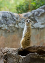 Meercat Stock Photos - 22430643
