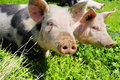 Two Pigs On A Meadow Stock Image - 22459481