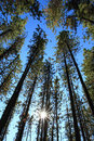 Pine Trees With Sun Royalty Free Stock Image - 22461876