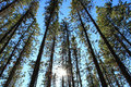 Pine Trees With Sun Stock Image - 22461891