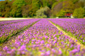 Field Of Purple Hyacinths In Spring Stock Photos - 22488443