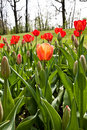 Spring Tulips Impregnated By The Sun Royalty Free Stock Images - 22498089