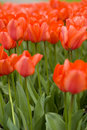 Orange Tulips Royalty Free Stock Photography - 2250957