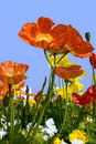 Spring Poppies Stock Images - 2253234