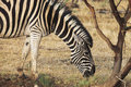 Zebra Feeding Royalty Free Stock Photo - 22513405
