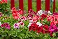 Petunia Flower Bed Royalty Free Stock Photo - 22535365