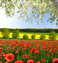 Red Poppy Field Stock Photography - 22539992