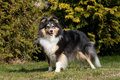 Summer Portrait Of Lovely Sheltie Collie Royalty Free Stock Photo - 22585145