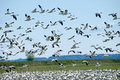 Migrating Snow Geese Royalty Free Stock Photography - 2269447