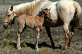 2 Day Old Colt And Mare Royalty Free Stock Photos - 2269988