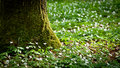 Mossy Old Tree And Windflower In Forest Stock Image - 22618761