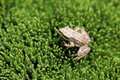 Little Frog-let On A Fresh Green Moss Texture Royalty Free Stock Photography - 22631357