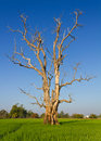 Dead Trees Dried. Stock Images - 22659214