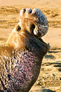 Northern Elephant Seal Royalty Free Stock Photo - 22667825