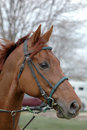 Thoroughbred Head In Bridle Royalty Free Stock Photo - 2270595