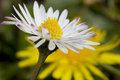 Daisy And Dandelion Stock Images - 2279984
