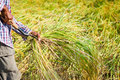 Farmer Cutting Rice In Paddy Royalty Free Stock Images - 22725089