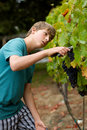 Grape Harvest Royalty Free Stock Images - 22733149
