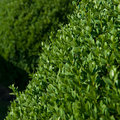 Boxwood Topiary Stock Images - 22738944