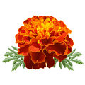 Red Marigold (Tagetes) Stock Photo - 22779130