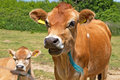 Close Up Head Shot Of A Jersey Cow Stock Photo - 22791670