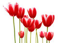 Red Tulips Royalty Free Stock Image - 22809256