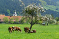 Cows Grazing In Green Meadow Stock Photo - 22813160