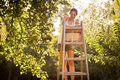 Young Woman Up On A Ladder Picking Apples From An Apple Tree Stock Photo - 22836550