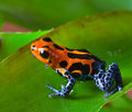 Red Poison Dart Frog Royalty Free Stock Image - 22858586
