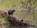 River Otter On A Log Royalty Free Stock Photo - 22869275