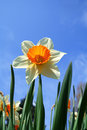Daffodil Royalty Free Stock Images - 2293149