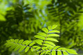 Leaves Of Mountain Ash Royalty Free Stock Photo - 22913505