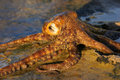 Octopus Royalty Free Stock Images - 22923219