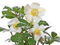 Helleborus The First Spring Flower Royalty Free Stock Photography - 22935067