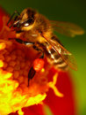 Bee On A Flower Stock Photo - 22964500