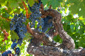 Ripe Znfandel Grape Clusters On Gnarled Grape Vine Stock Photos - 22965463