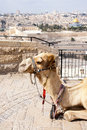Camel Jerusalem Royalty Free Stock Photos - 23047938