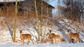 Family Of Deer Royalty Free Stock Photography - 23080467