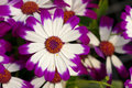 Cineraria Flowers Royalty Free Stock Image - 23093036