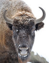 Bison In Winter Royalty Free Stock Photos - 23099048