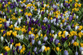 Carpet Of Crocuses Royalty Free Stock Images - 23170289
