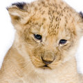 Lion Cub S C Royalty Free Stock Photos - 2320638