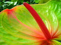 Anthurium Stock Photography - 2327992
