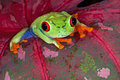 Red-eyed Tree Frog Royalty Free Stock Image - 23201576