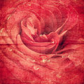 Rose On Old Paper Stock Photography - 23226382