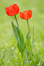 Two Red Tulips Stock Photography - 23236522