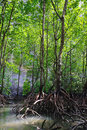 Mangrove Forest Royalty Free Stock Photography - 23270607