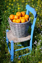 Basket Of Oranges In Yellow Flowers 7 Stock Images - 23281484
