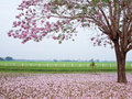 Pink Trumpet Tree Stock Images - 23290374